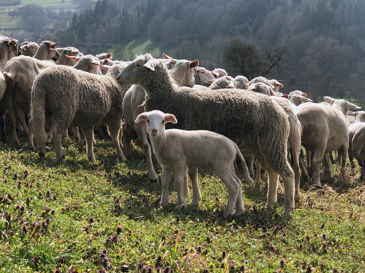 250 Schafe der Familie Bauer beweiden einen Kocherhang bei Steinkirchen.