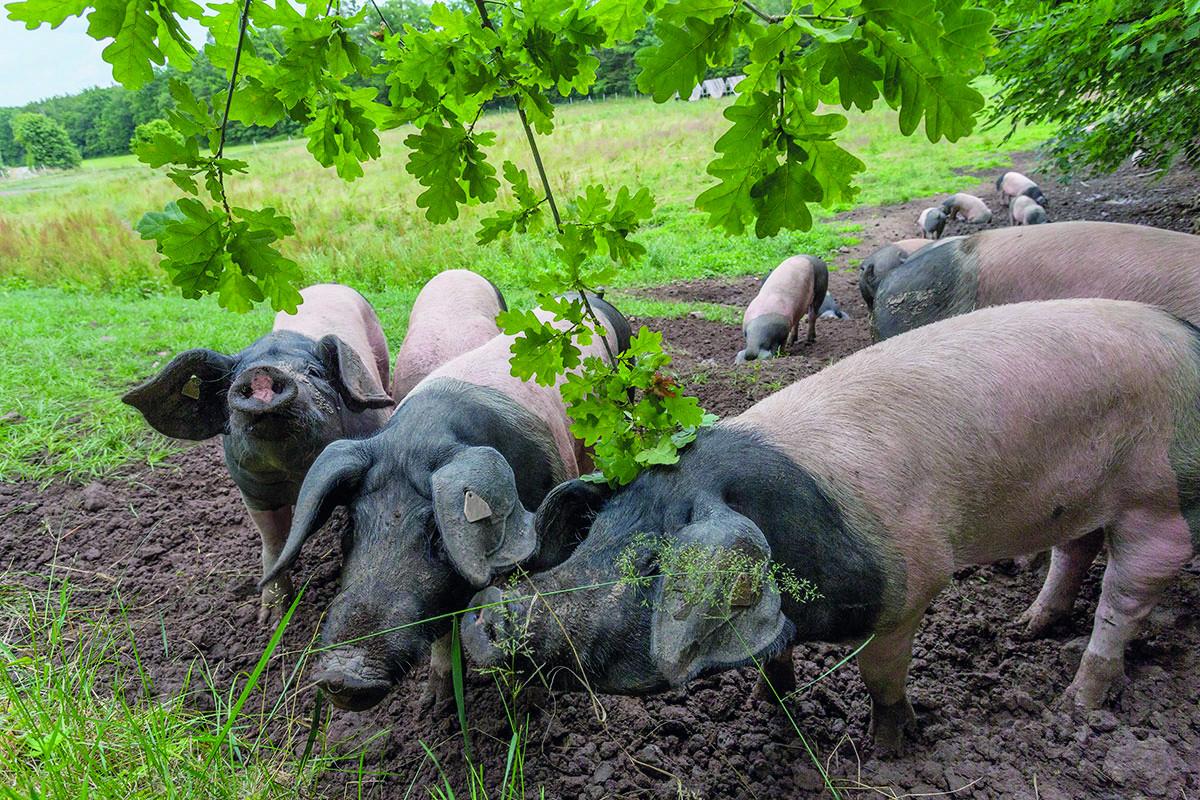 Schweine auf der Eichelmastweide