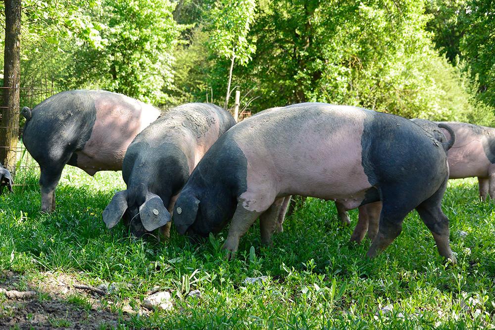 Schweinisches Vergnügen