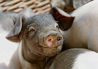 Das Schwein bringt Glück