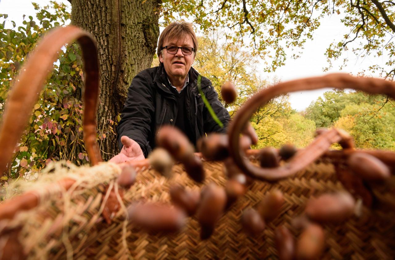 Eicheln sammeln für die Schwäbisch-Hällischen Weideschweine